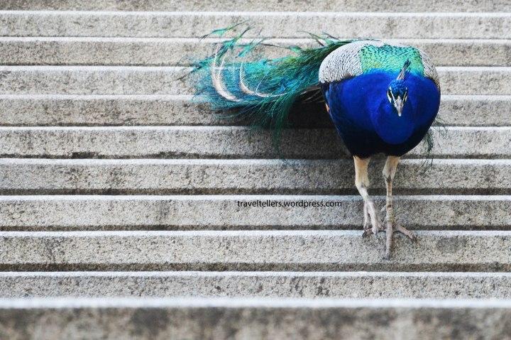 008_peacock