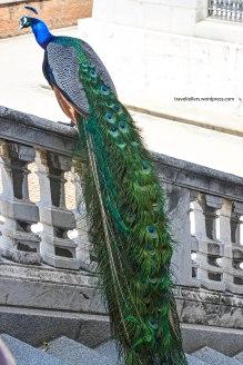016_peacock-2